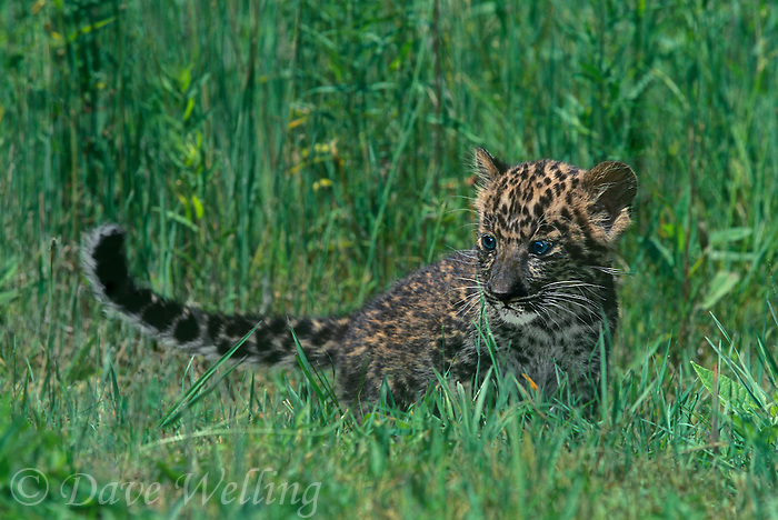654303025 a captive baby african leopard panthera pardus wanders in tall grass - species is native to sub-saharan africa