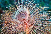 feather duster worm, Sabella spallanzanii, mediterranean sea, Villefranche sur Mer, south, France, Europe