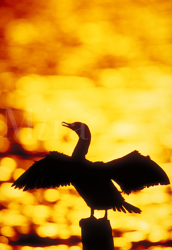 Double-crested Cormorant, silhouette. Silhouettes. New York New York.