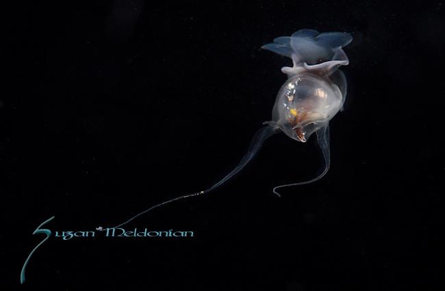Cavolinia tridentata (Niebuhr, 1775) Phylum Mollusca / Class Gastropoda / Subclass Opisthobranchia / Order Thecosomata / Family Cavoliniida, Larval, plankton, Gulfstream Current