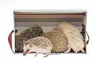 Four-toed Hedgehogs or African Pygmy Hedgehogs (Atelerix albiventris) in a box, one at the front