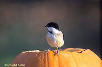 1J04-001z  Black-capped Chickadee - on Jack-0-lantern - Parus atricapillus