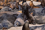 CA sea lion bulls and elephant seals