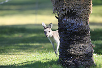 Kangaroo's on the 1st during Round 2 Matchplay of the ISPS Handa World Super 6 Perth at Lake Karrinyup Country Club on the Sunday 11th February 2018.<br /> Picture:  Thos Caffrey / www.golffile.ie<br /> <br /> All photo usage must carry mandatory copyright credit (&copy; Golffile   Thos Caffrey)
