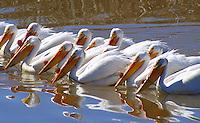 Pelican - American White