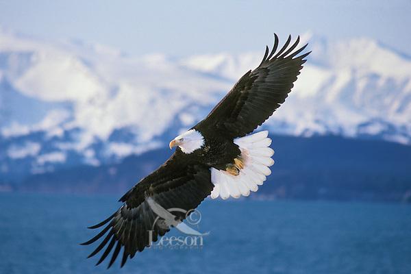 Bald Eagle (Haliaeetus leucocephalus) flying over Kachemak Bay, Alaska..March.
