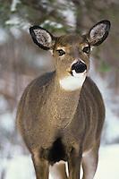 White-tailed Deer doe (Odocoileus virginianus)
