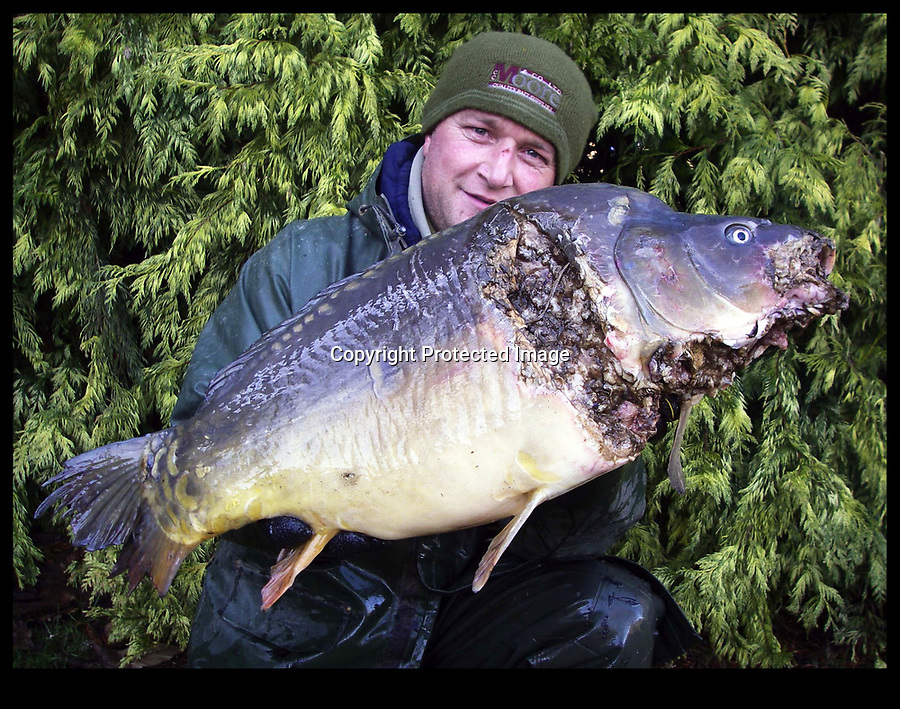BNPS.co.uk (01202 558833)<br /> Pic: BNPS<br /> <br /> Romsey Lakes in Hampshire - Owner Mark Simmonds with £2000 30lb carp savaged by otters.<br /> <br /> One of Britain's premier fisheries has spent tens of thousands of pounds on erecting fencing to protect its prized fish from being slaughtered by otters.<br /> <br /> More than two miles of 6ft tall wire fencing now surrounds the two lakes at the fishery that are filled with huge carp, including Britain's biggest weighing 80lbs.<br /> <br /> Large coarse fish can be worth as much as £30,000 a piece as they attract anglers who pay good money for the chance to catch them.<br /> <br /> But in recent years carp and barbel fish have been threatened by the resurgence of the wild otter population in Britain.<br /> <br /> Wingham Fisheries in Canterbury, Kent, has become the latest fishery to take the drastic action of fencing off their rural lakes.