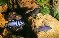 Malawi-Schmalbarsch, Schmalbarsch, Pseudotropheus elongatus, Metriaclima elongatus, Maylandia elongatus, Elongate Mbuna, Buntbarsche, Cichlidae, Malawisee-Buntbarsche, Malawi-Buntbarsche