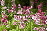 Primrose garden. Crystal Gardens. Portland. Oregon