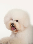 Bichon FriseDog, Head Study, Studio, White Background