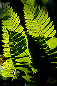 Osa Peninsula, Costa Rica. Sunlight catching a bright green fern in the Corcovado National Park.