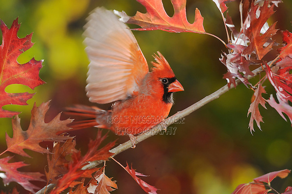 Northern Cardinal (Cardinalis cardinalis), male perched on fall color branch of Texas Red Oak (Quercus buckleyi), New Braunfels, Hill Country, Central Texas, USA