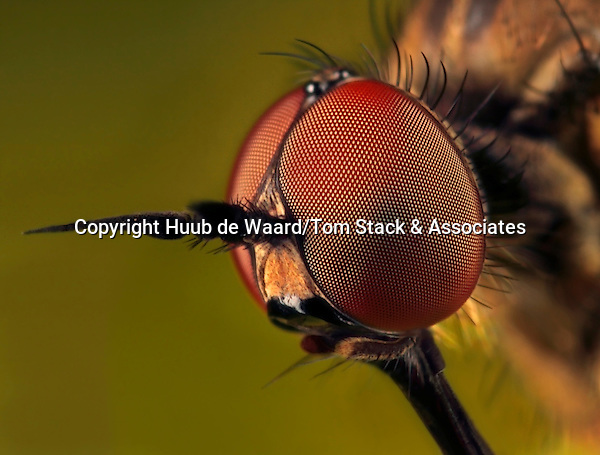 """Compound eye large dance fly (Empididae), made with magnification factor 7 and f/9...Empididae is a family of flies with over 3,000 described species occurring worldwide, but the majority are found in the Holarctic. They are mainly predatory flies like most of their relatives in the Empidoidea, and exhibit a wide range of forms but are generally small to medium sized, non-metallic and rather bristly...Common names for members of this family are dagger flies (referring to the sharp piercing mouthparts of some species) and balloon flies. The term """"dance flies"""" is sometimes used for this family too, but the dance flies proper, formerly included herein, are now considered a separate family Hybotidae...Some Empididae, such as the European species Hilara maura, have an elaborate courtship ritual in which the male wraps a prey item in silk and presents it to the female to stimulate copulation. Empidid larvae are also largely predatory (although some are scavengers) and occupy a wide range of habitats, both aquatic and terrestrial (source: Wikipedia)."""