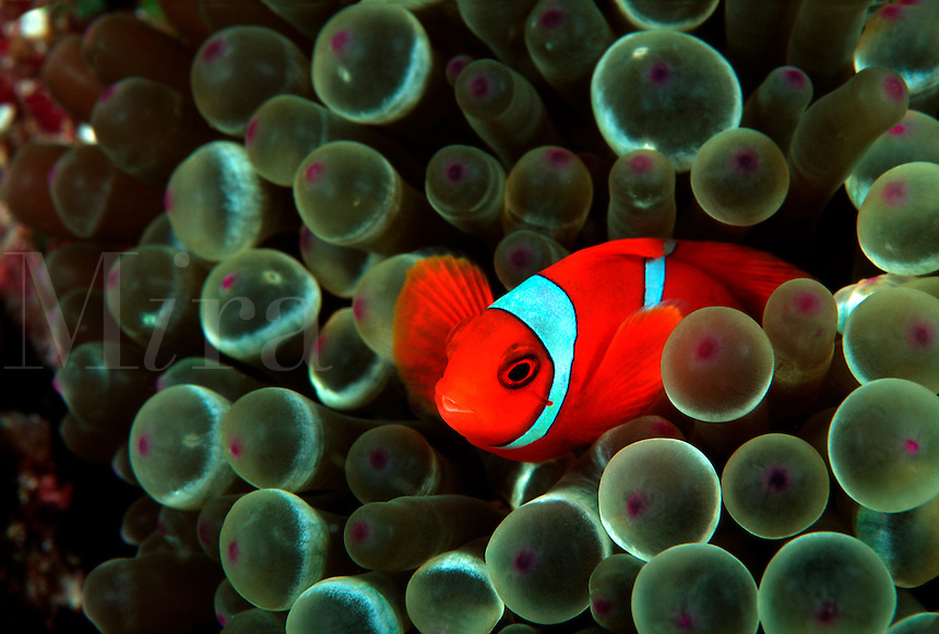 Spine-cheek anemonefish, Premnas biaculeatus, enjoys the protection of this bulb-tentacle sea anemone, Entacmaea quadridcolor.  Indonesia. bulb-tentacle sea anemone Entacmaea quadridcolor Indonesia bunaken mandado macro small spine cheek bulb tentacle fish vertebrate reef fishes