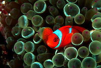 Spine-cheek anemonefish, Premnas biaculeatus, enjoys the protection of this bulb-tentacle sea anemone, Entacmaea quadridcolor.  Indonesia. bulb-tentacle sea anemone Entacmaea quadridcolor Indonesia bunaken mandado macro small spine cheek bulb tentacle fish vertebrate reef fishes