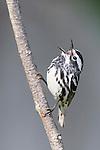 Black-and-White Warbler (Mniotilta varia), Ontario, Canada.