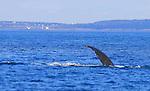 Baluga whale Delphinapterus leucas