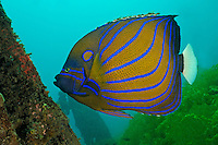 Pomacanthus annularis, Ring-Kaiserfisch, Bluering angelfish, Secret Bay, Gilimanuk, Bali, Indonesien, Indopazifik, Indonesia, Asien, Indo-Pacific Ocean, Asia