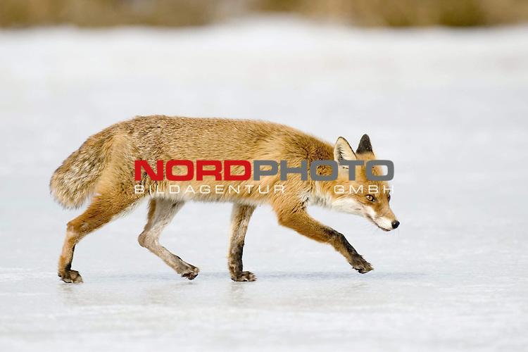 Fuchs (Vulpes vulpes) sucht Beute im Winter auf dem Eis eines Sees, Rotfuchs, Mueritz Nationalpark, <br /> <br /> Foto: nordphoto *** Local Caption *** Original Naturfoto - hŲhere AuflŲsung auf Anfrage - Dig. Foto