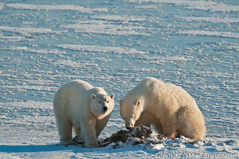 Polar bears Ursus maritimus eating seaweed on frozen tundra<br /> Churchill<br /> Manitoba<br /> Canada