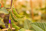 """April 19, 2016. Durham, North Carolina. <br />  In Greenhouse 5 at the Bayer Crop Science Research Triangle Park facility, soybeans containing a """"stacked trait"""" are grown. These plants have been genetically modified to be resistant  to a certain insect and herbicide tolerant, hence the """"stacked"""" tag.<br />  The Bayer Crop Science Research Triangle Park main campus houses 2 large greenhouses which are used to test grow many of the seeds that are modified nearby at the Innovation Center. Another greenhouses is currently under construction."""