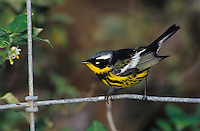 Magnolia Warbler, Dendroica magnolia,male on fence wire, South Padre Island, Texas, USA