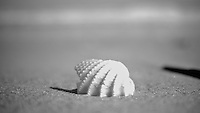 A seashell sits in the sand on the beach in Ormond Beach, FL, November 8, 2011. Black and White.     (Photo by Brian Cleary/www.bcpix.com)