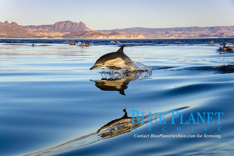 Common dolphin (delphinus delphis) Gulf of California Mexico, Pacific Ocean