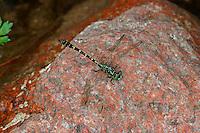 Kleine Zangenlibelle, Zangen-Libelle, Männchen, Onychogomphus forcipatus, Small Pincertail