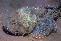 spotted scorpionfish, Scorpaena plumieri mystes, in gill net, Juncalito Beach, Sea of Cortez, Pacific Ocean