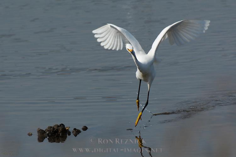 Dancing Snowy Egret Bolsa Chica Wildlife Refuge Southern California