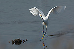 Dancing Snowy Egret Bolsa Chica Wildlife Refuge Southern California