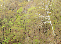 A Sycamore tree stands out in the spring forest, Parke County, Indiiana