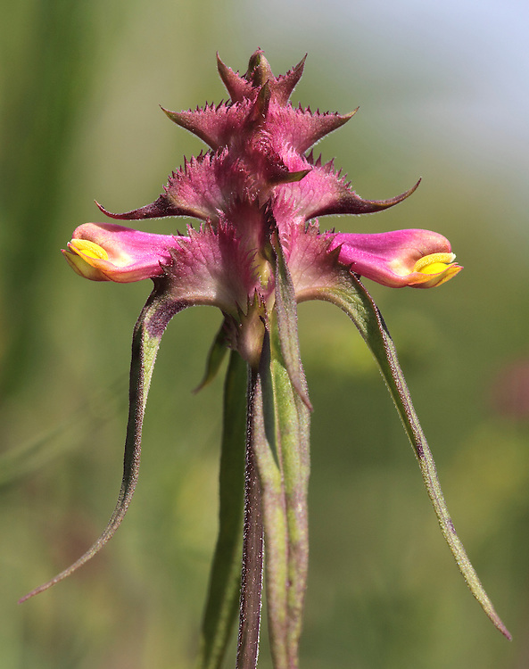 CRESTED COW-WHEAT Melampyrum cristatum Height to 50cm<br /> Upright, downy annual that is semi-parasitic on the roots of other plants. Grows on verges and along grassy, woodland rides. FLOWERS are 12-16mm long, the corolla yellow and purple, and 2-lipped; borne in 4-sided spikes with triangular, toothed bracts tinged purple at the base (Jun-Sep). FRUITS are capsules. LEAVES are lanceolate, unstalked and in opposite pairs. STATUS-Rare and local, confined to E England.