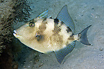 Balistes capriscus, Gray triggerfish, Blue Heron Bridge, Florida