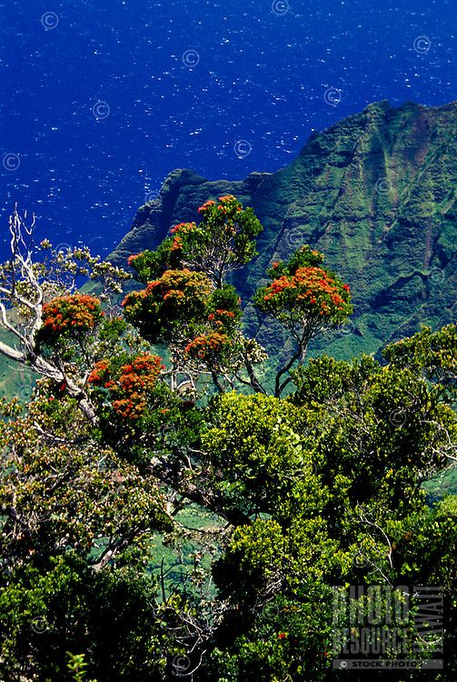 Ohia lehua tree in flower with Kalalau Valley, from Puu o Kila Overlook, Kokee State Park.