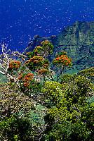 Ohia lehua tree in flower with Kalalau Valley, from Puu o Kila Overlook, Kokee State Park.
