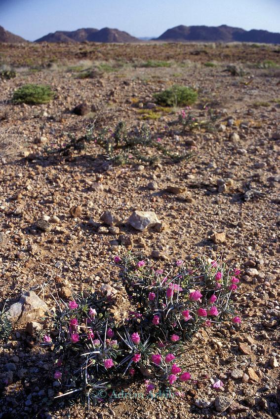 A succulent cactus plant growing in the Namib Naukluft  rocky  desert.  Skeleton Coast, Namibia.