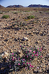 A succulent cactus plant growing in the Namib Naukluft  rocky  desert.  Skeleton Coast, Namibia.