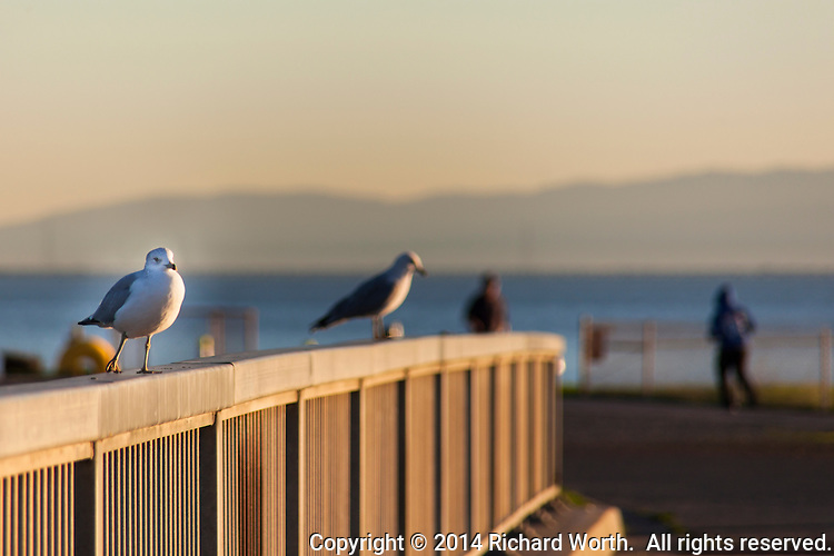 Bathed in late afternoon light, a Ring-billed gull stands on a bridge railing against a soft background of joggers and walkers, and San Francisco Bay.