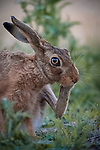 """THE THINKER:  A hare mimics Auguste Rodin's The Thinker after a photographer managed to capture it perfectly mid-scratch.<br /> <br /> The brown hare was spotted on the edges of a freshly  cut silage field in Tysoe, Warwickshire by Events Manager Richard Ellis.  <br /> <br /> Richard said, """"The hare was itching his face after eating thistles in the field.  I managed to capture this split second moment perfectly.  When I saw it I thought it resembled that of The Thinker.""""<br /> <br /> Please byline: Richard Ellis/Solent News<br /> <br /> © Richard Ellis/Solent News & Photo Agency<br /> UK +44 (0) 2380 458800"""