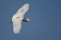 Cattle Egret in flight, Taylor, Texas