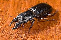 Rindenschröter, Rinden-Schröter, Männchen, Ceruchus chrysomelinus, male