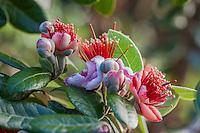 Pineapple Guava, Feijoa sellowiana fragrant flower; Kate Frey Garden