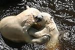 polar bears play
