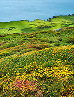 Wildflowers and ocean. Sky Loop Road. Clifden, Ireland