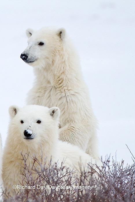 01874-12616 Polar bears (Ursus maritimus)  2 cubs in winter, Churchill Wildlife Management Area, Churchill, MB Canada