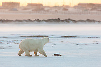 Polar bear walks across the snow on the outskirts of the Inupiat village of Kaktovik, on Barter Island, Alaska.