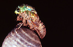 dog day cicada emerging from nymphal case